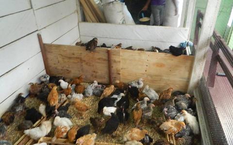 poulet-locale